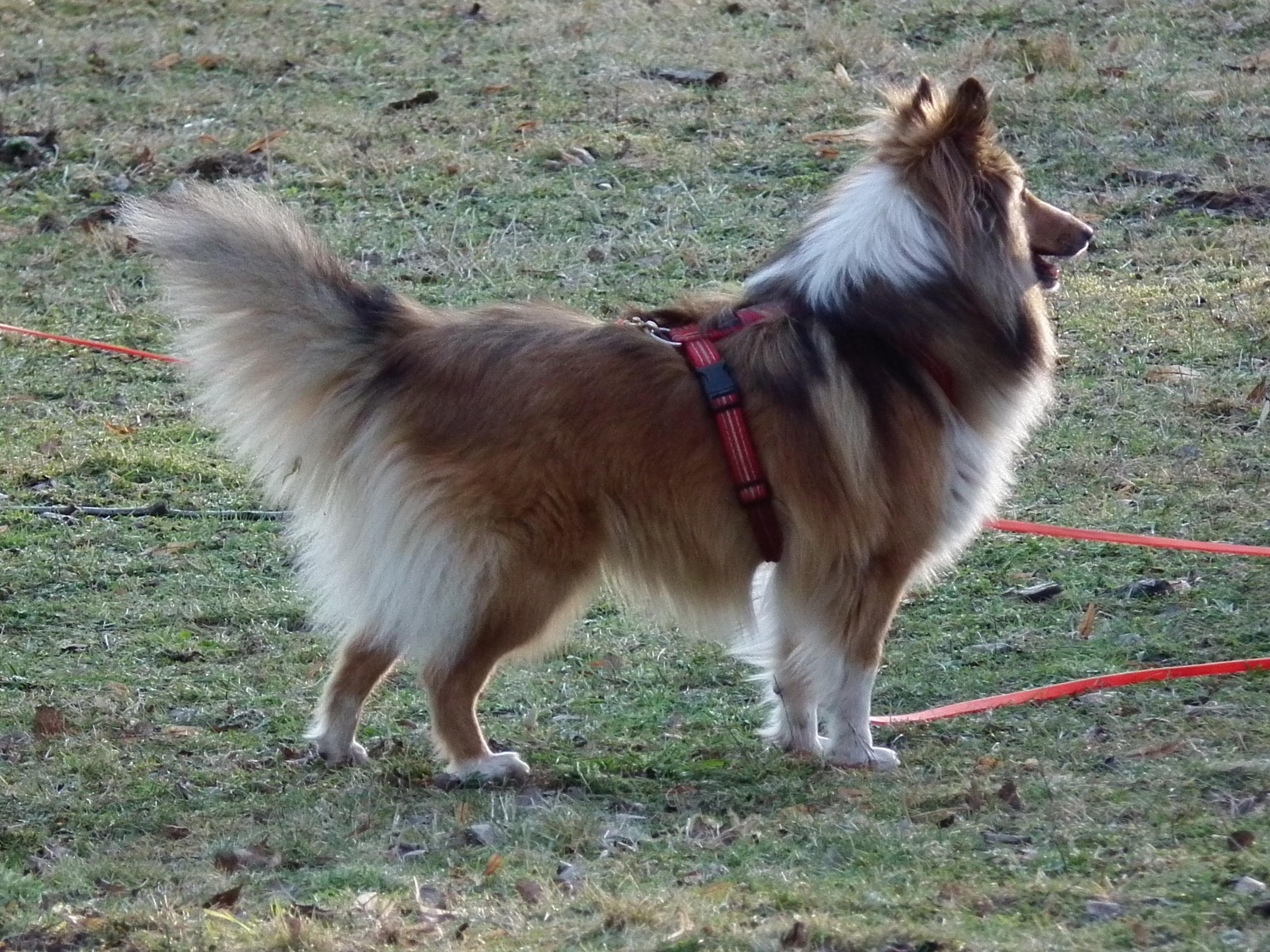 Walking Fluffy Dog