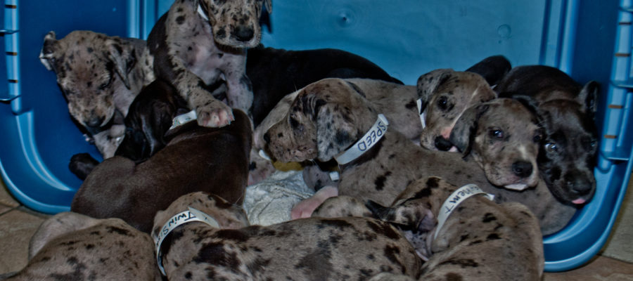 Food For Great Dane Puppies