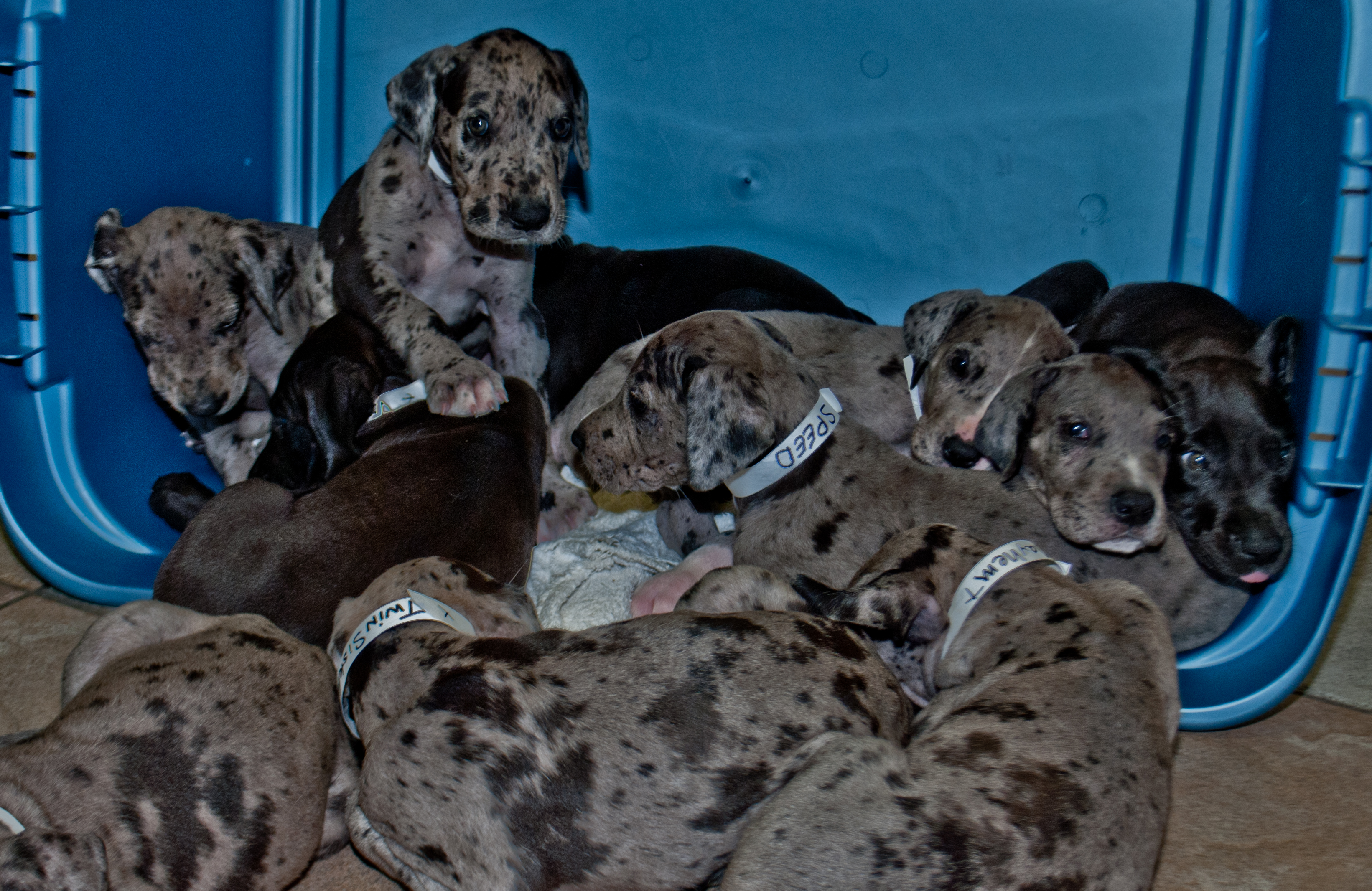 How Much Dog Food For A Great Dane Puppy