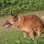 Dog Stool Hardener