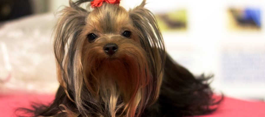 Best food for yorkie