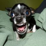 How To Stop Your Chihuahua From Barking
