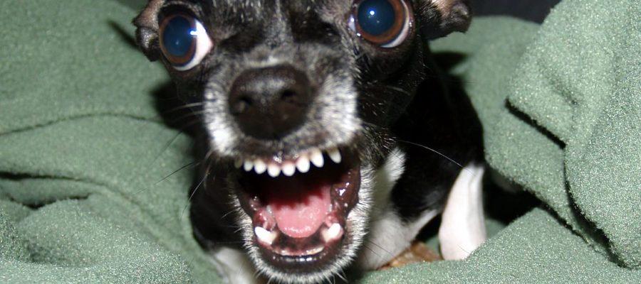 Chihuahua Bark
