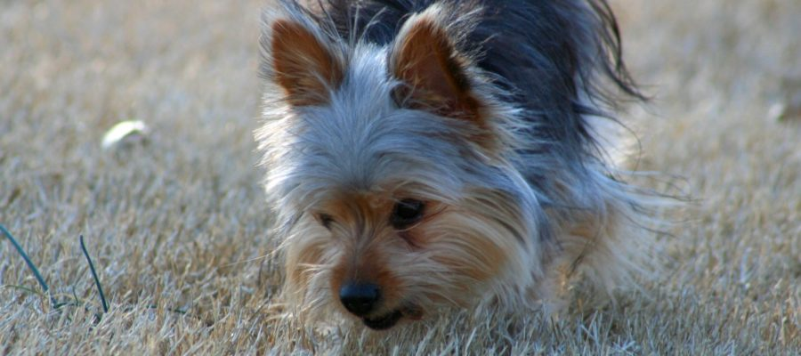 Can You Put A Collar On A Yorkie?