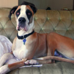 Best Soft Dog Crate For Your Great Danes