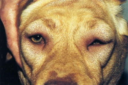 Angioedema In Dogs