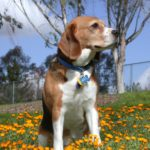 Top 3 Best Bark Collars For Beagles