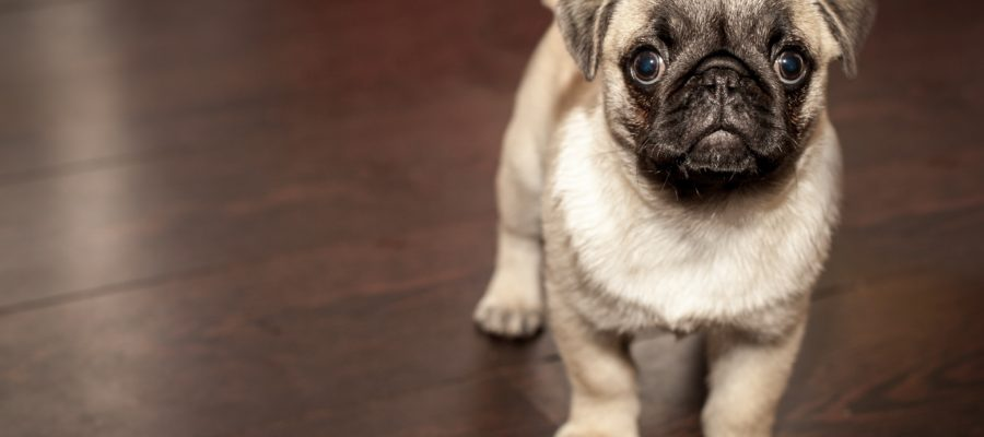 Choosing The Best Dog For Small Apartment