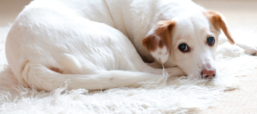 Best Rug For Dogs