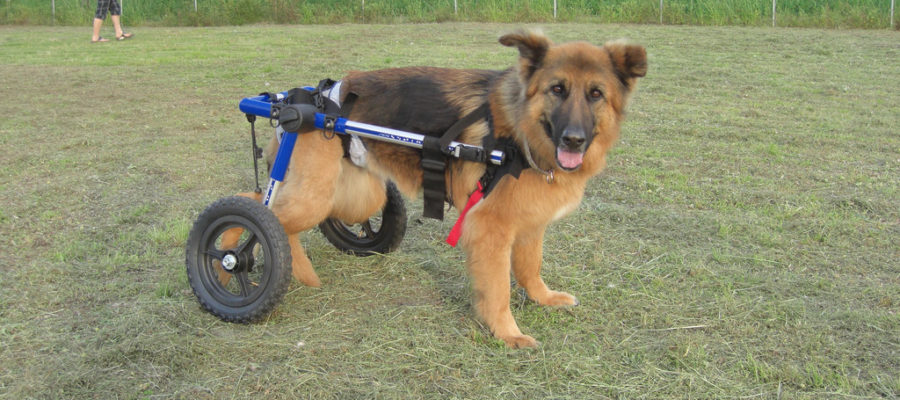 Wheelchair For Your Disabled Dachshund