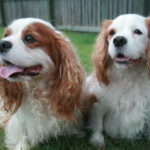 Bark Collars For Cavalier King Charles