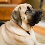 Best Dog House For Mastiff