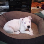 Best Dog Bed For Pitbull Reviews