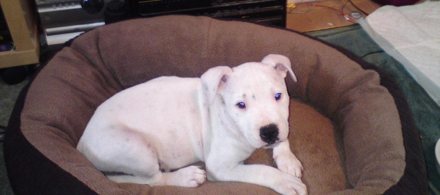 Best Dog Bed For Pitbull