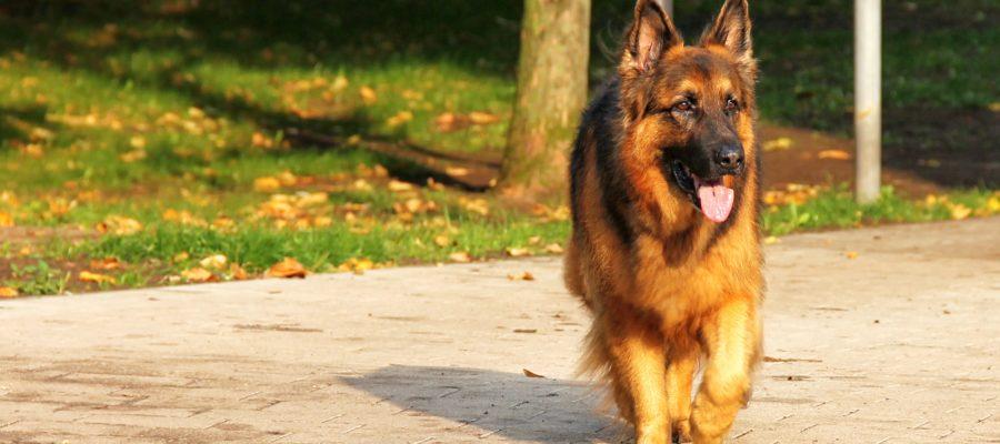 Best Treadmill For German Shepherd