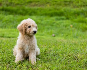 Do Goldendoodle Shed