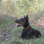Best Training Collar For Doberman Pinscher