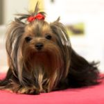 Best Dog Clippers For Yorkies