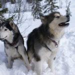 Best Training Collar For Siberian Husky