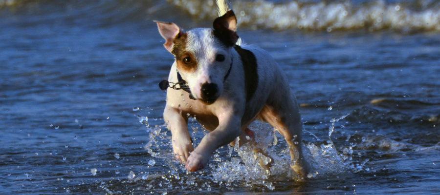 bark collar for Jack Russell Terrier