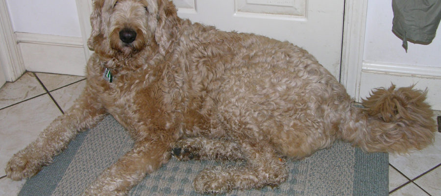 Best Dog Clippers For Labradoodles