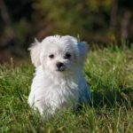 Best Dog Grooming Clippers For Maltese