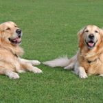 Best Dog Clippers For Golden Retriever