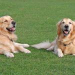 Best Dog Clippers For Golden Retriever