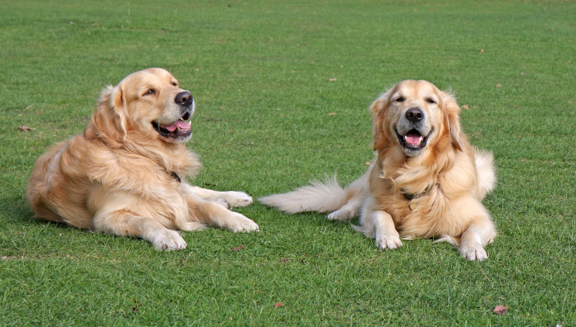 Best Dog Leash For Golden Retriever