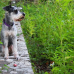 Best Dog Clippers For Miniature Schnauzer