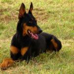Best Dog Crates For Doberman Pinscher