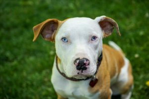 Care for 5 month old pitbull puppy