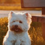 Grooming Tools: Best Clippers For Wheaten Terrier