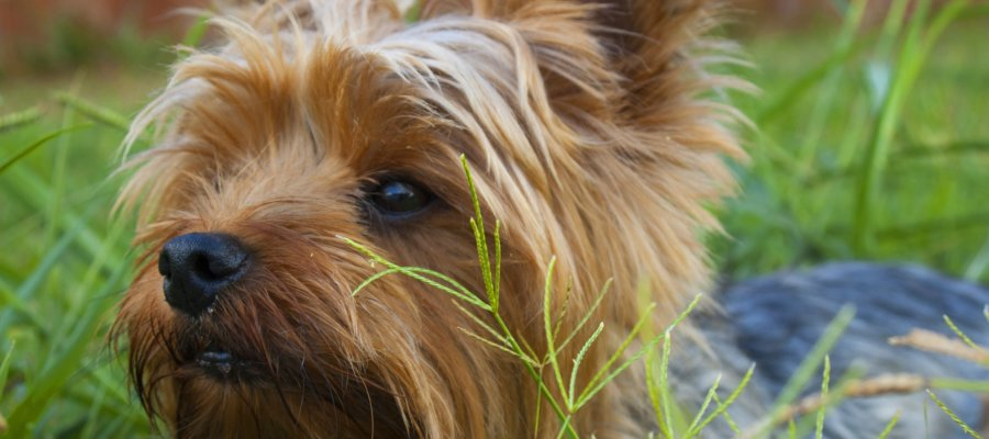 GPS Tracking Collar For Yorkie