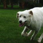 Read This First: Ultimate Dog Clippers For Great Pyrenees