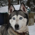 Funny Husky Memes That We All Love