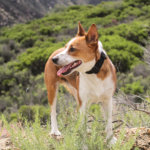 Is A Basenji Right For Me