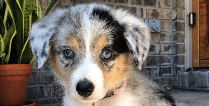 Australian Shepherd Chihuahua Mix Breed Information Dog N Treats