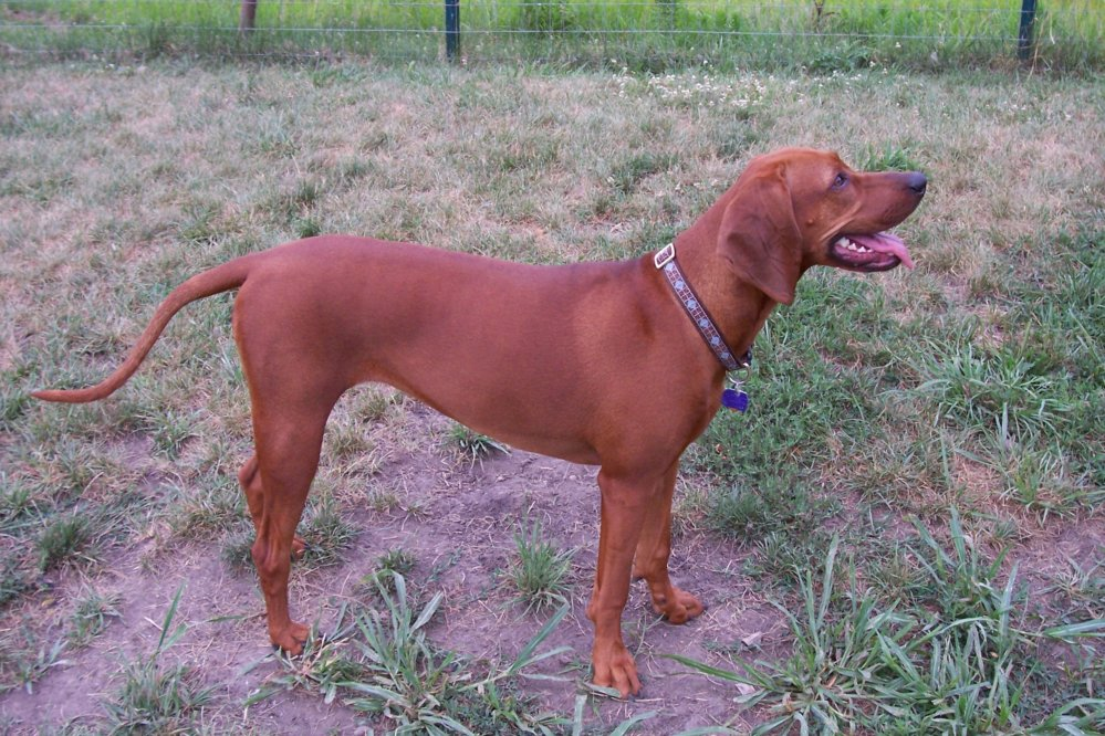 Planning To Get A Plott Hound Pitbull Mix? Read This First! - Dog N