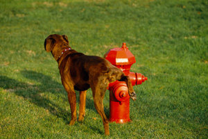 Why Do Dogs Like To Pee On Fire Hydrants Dog N Treats