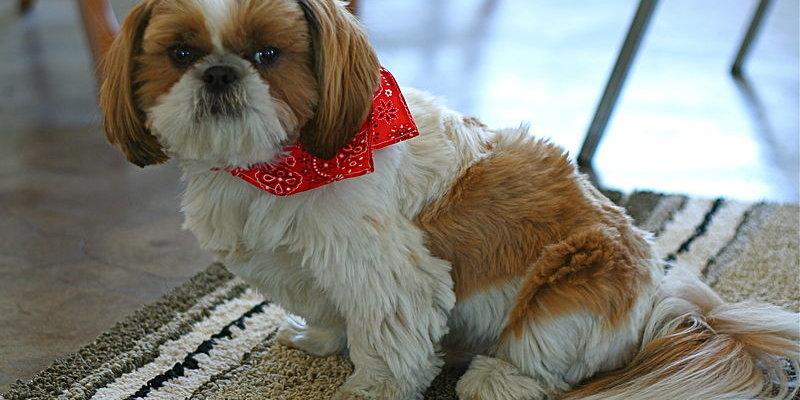 Dog Grooming Clippers Shih Tzu